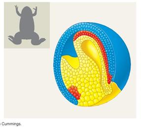 Bij welk dier zie je hier convergente verlenging plaatsvinden?