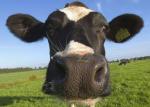 Hoelang grazen runderen en hoelang herkauwen ze hun eten?