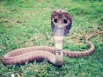 Welk gif gebruikt een koningcobra?