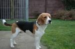 Dit is een Beagle