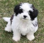 Uit welk land is het hondenras Shih Tzu gekomen?