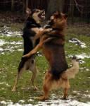 De eigen hond is ineens betrokken bij een vechtpartij. Hoe moet men reageren?