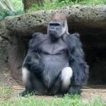 Gorilla's kunnen verkouden en ziek worden net als de mens.
